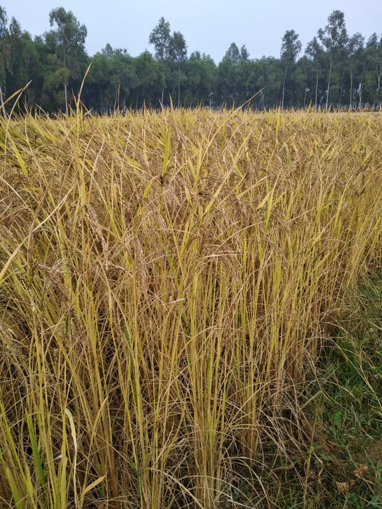 Subrata succeeded in cultivating an alternative brown rice