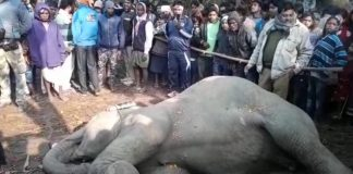 old age elephant dead body rescue