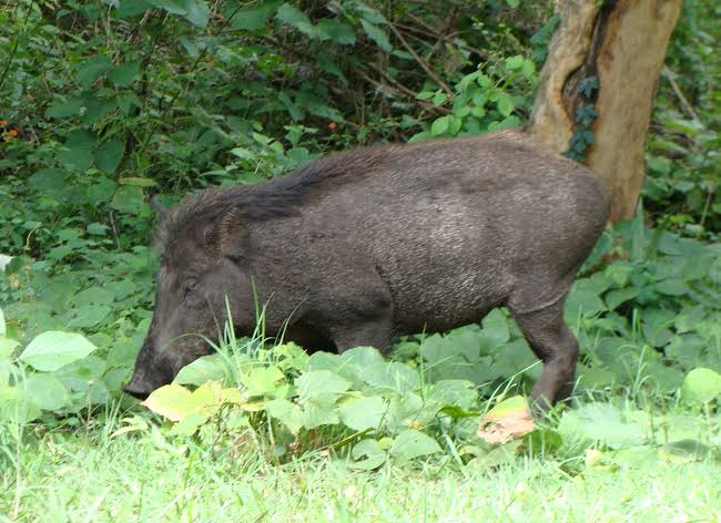 damaged crop affected by wild pigs | newsfront.co