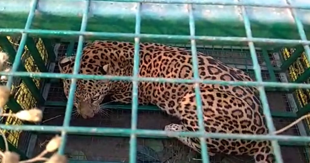 Another cheetah captured in the cage
