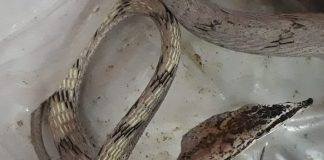 the brown behan snake rescue