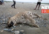 Leopard body recovered