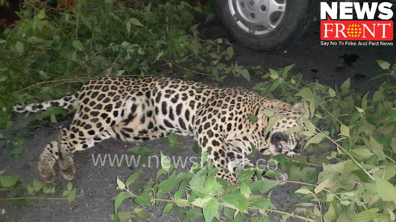 Death of leopard at hit by car   newsfront.co