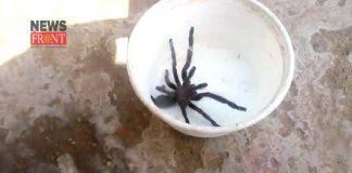 Lycosa Tarantula | newsfront.co