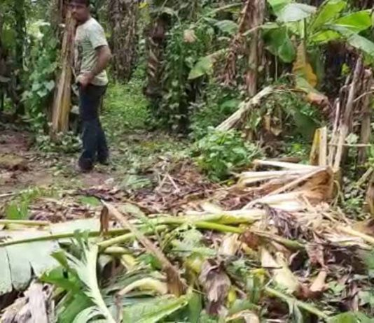 banana trees | newsfront.co