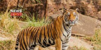 Assam Manas Tiger   newsfront.co
