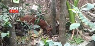 injured deer   newsfront.co