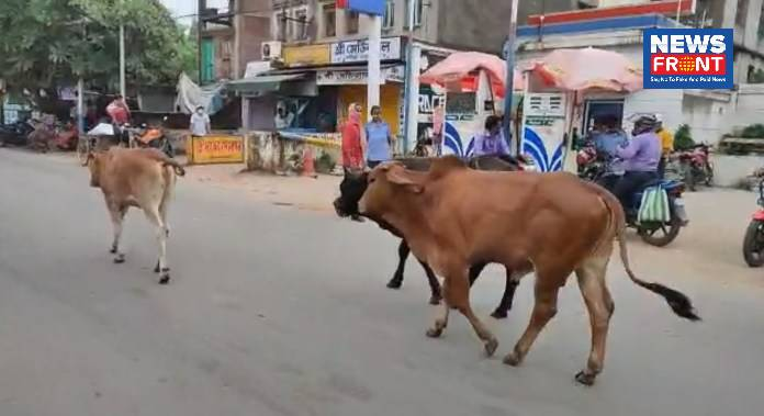 Cow on roads